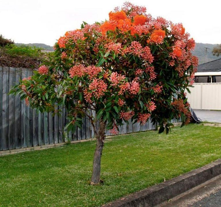 Australian Native Trees